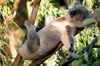 A-koala-bear-sleeping-in-a-tree.