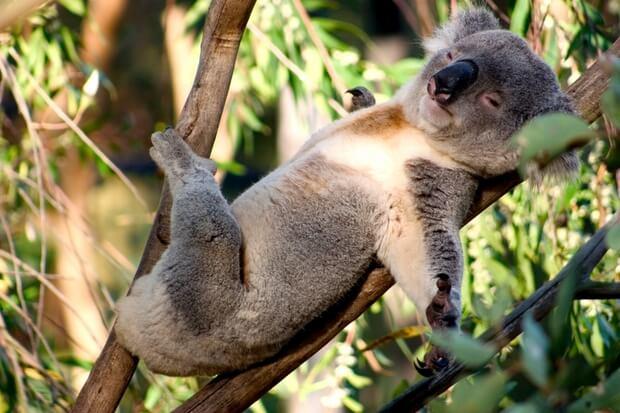 A-koala-bear-sleeping-in-a-tree.