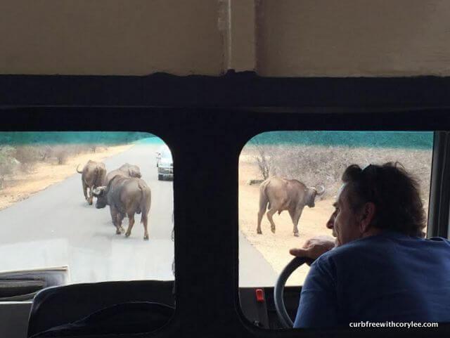 Stuck in a buffalo traffic jam